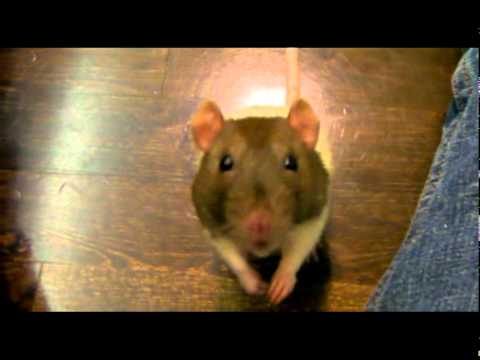 Pet Rats Playing and Doing Tricks