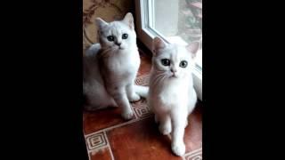 Silver chinchilla Cat Frumos MD