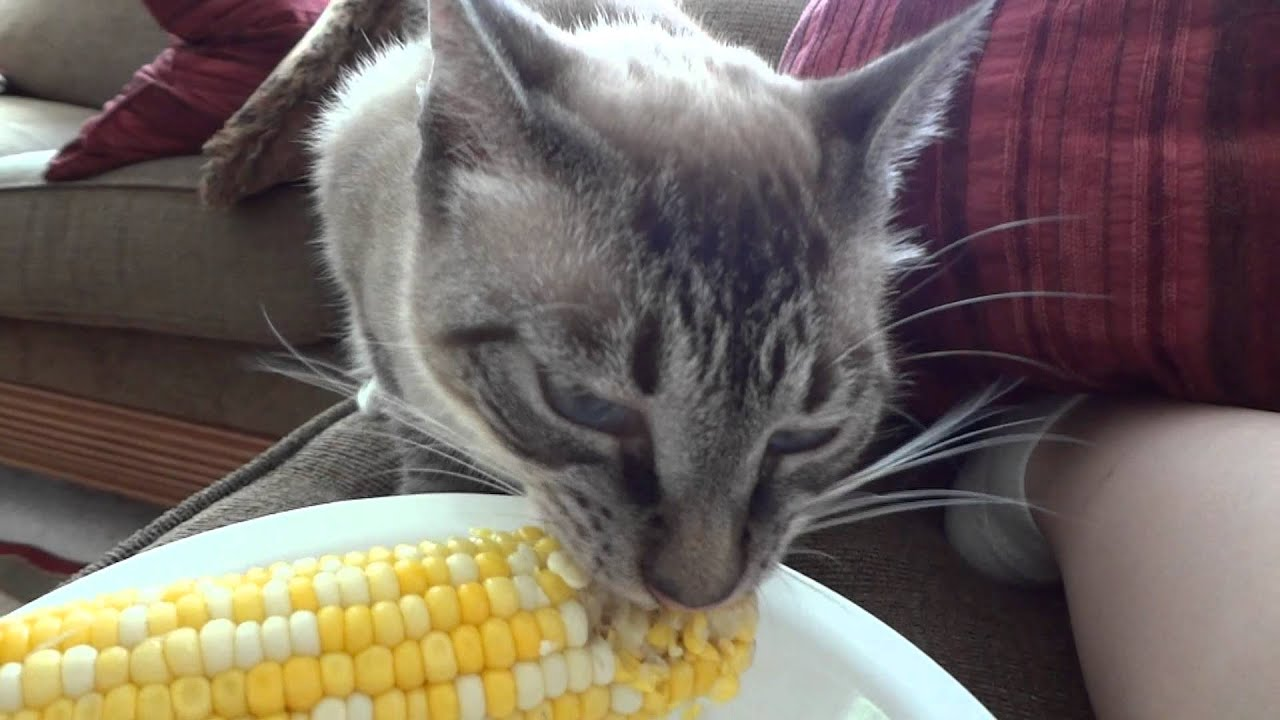 how to get a cat with pancreatitis to eat