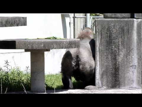 浜松市動物園のゴリラのショウ君2