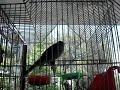 ( Clarín) Pájaro Cantador