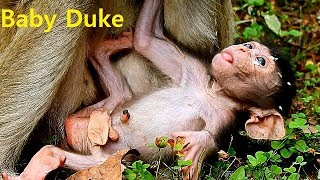 Oh!! Poor Baby Duke Feel Tired Need Warm Milk From Mom | Duchess Get Milk From Cameraman