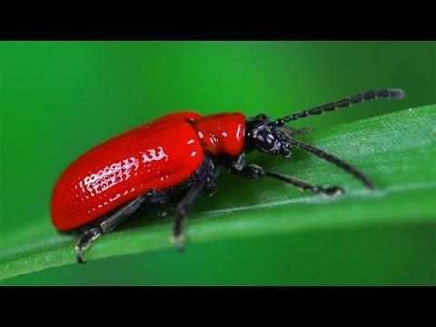 Lilioceris lilii - poskrzypka liliowa - Lilienhähnchen - Scarlet lily beetle