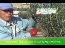 オリーブ島のマドンナ 農家の方からオリーブの育て方を教わる1(苗木地植編)