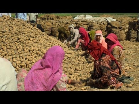 Potato Harvesting, Haryana