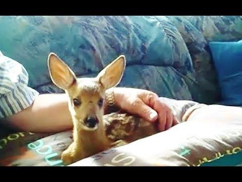 my pet fawn