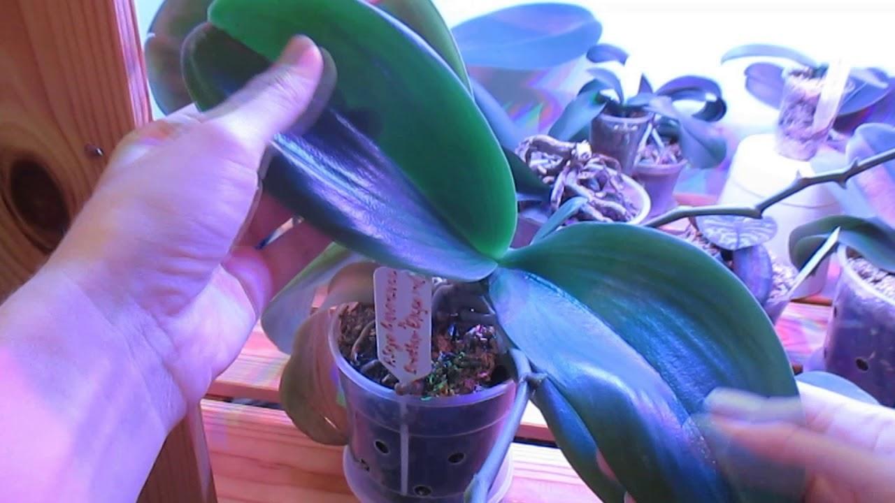 фото деток орхидей на цветоносе Биштов Анжелика