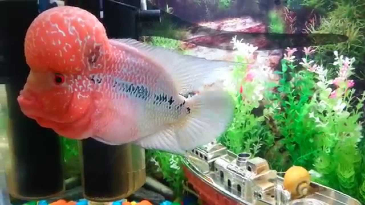 Ever Red Flowerhorn Food And Ever Red Fish Food