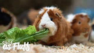 The Woman Who's Rescued Thousands of Guinea Pigs | CUTE AS FLUFF