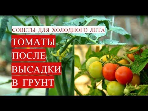 Как вырастить помидоры: посадка и у