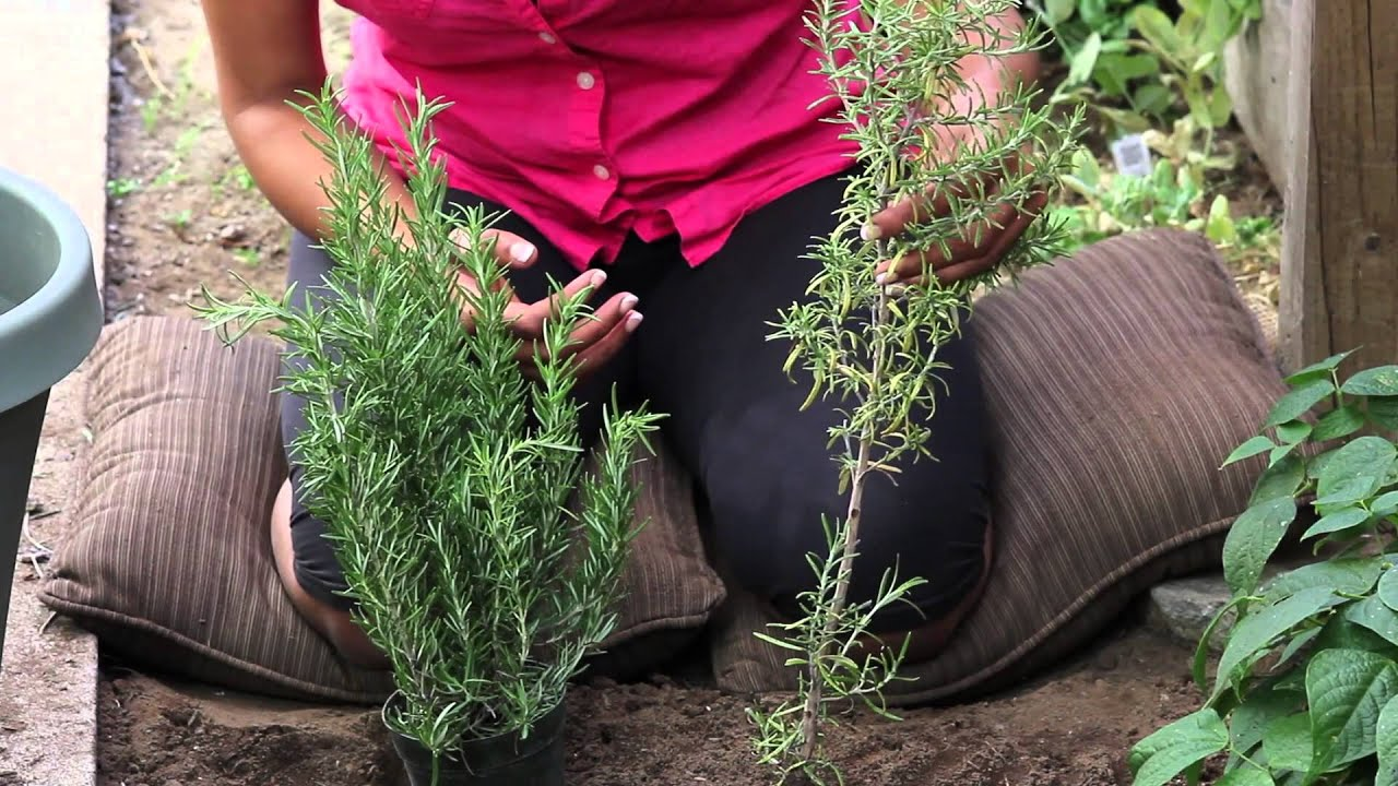 Proper Technique For Trimming Rosemary Plants The Chef S