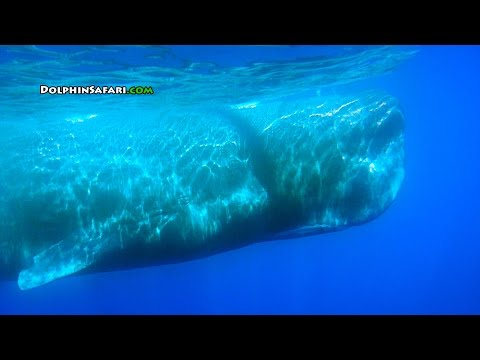 Over 60 Sperm Whales Surround Whale Watching Boat off Dana Point California