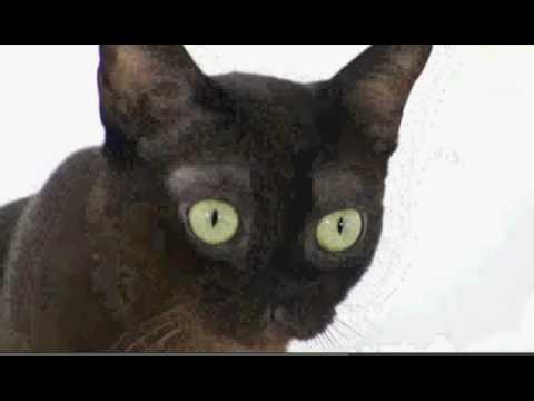 Cats 101: Burmese