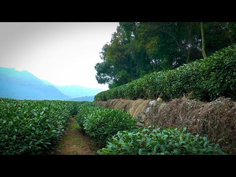 Longjing (龙井) Tea Plantation Hangzhou, China (Kumar ELLAWALA)