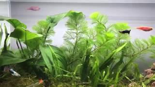 Setting Up Simple Guppy Aquarium Tank NO filter, NO CO2, NO Ferts for Amateur