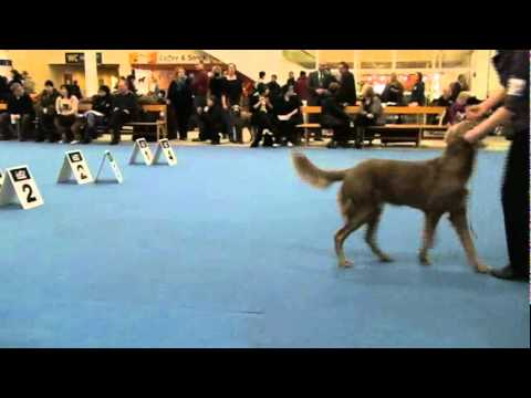Longhaired weimaraner male's, Finland Winner2010