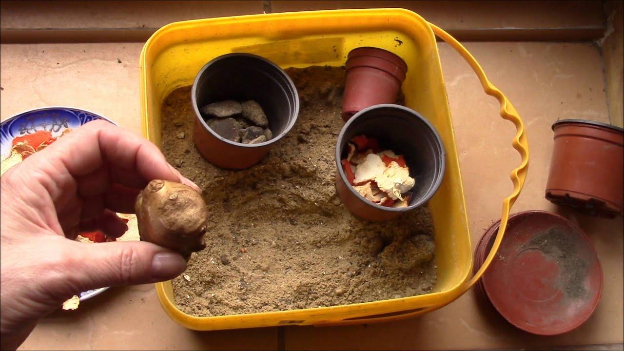 Как вырастить имбирь из корнеклубня в домашних условиях 61