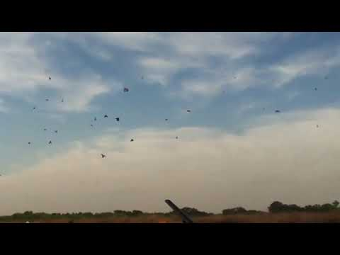 Caza de palomas medianas con escopeta del 12 chico
