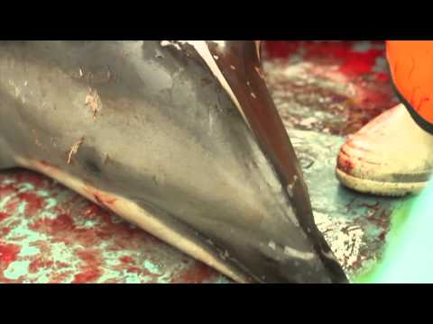 Revealed: brutal reality of world's 'largest dolphin hunt'