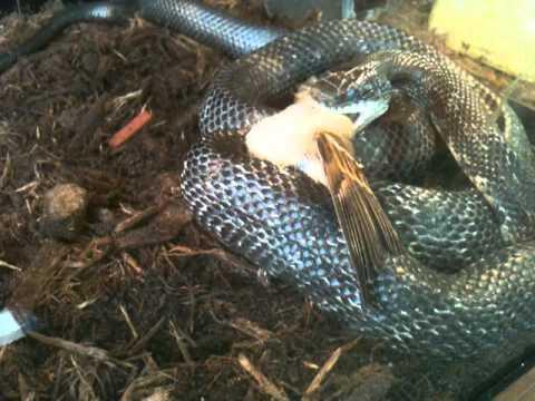 Black Rat Snake Eats A House Sparrow video