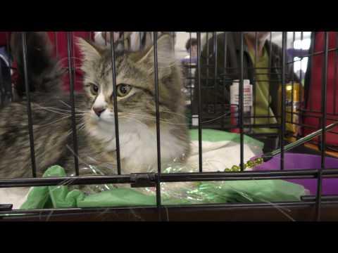 На выставку кошек в Рязани впервые привезут девон - рекса
