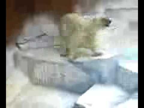 天王寺動物園の白熊白くまシロクマしろくま