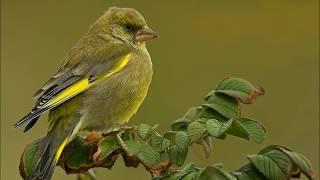 Welke vogels zingen in uw tuin?