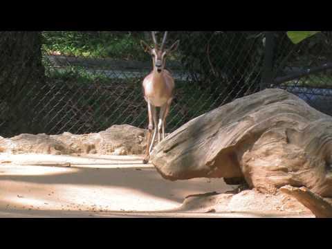 Spekes Gazelle La Zoo