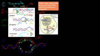 3. Protein Synthesis (HSC biology)