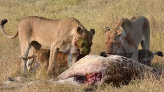 Lions Feeding on Baby Giraffe - WARNING GRAPHIC CONTENT