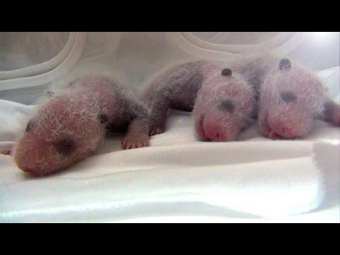 Naissances de triplés pandas dans un zoo chinois