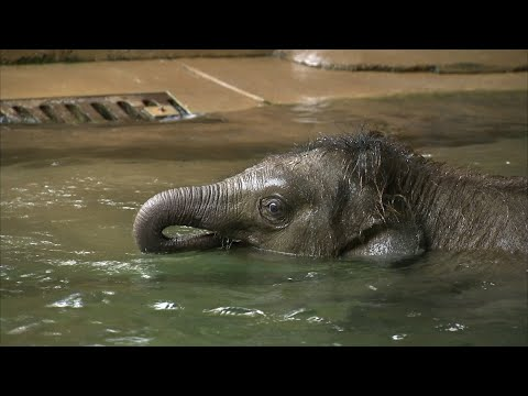 Elefantenbaby Ben Long taucht ab