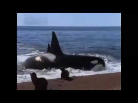 *Orca atacando a una Foca*