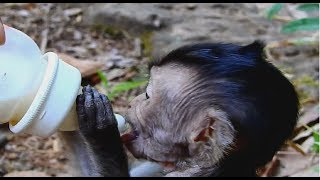 WOW! Baby Monkeys Surprise! Lori Small baby Very thin get Special Gift Milk today.