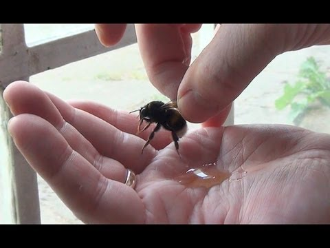 GIANT Bumble Bee Rescue & Release - Picked Up By Hand & High Five