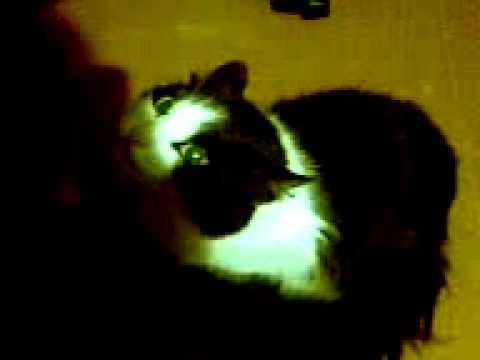 Поющая  кошка (singing cat). Поет под дудку! Прикол! :)))