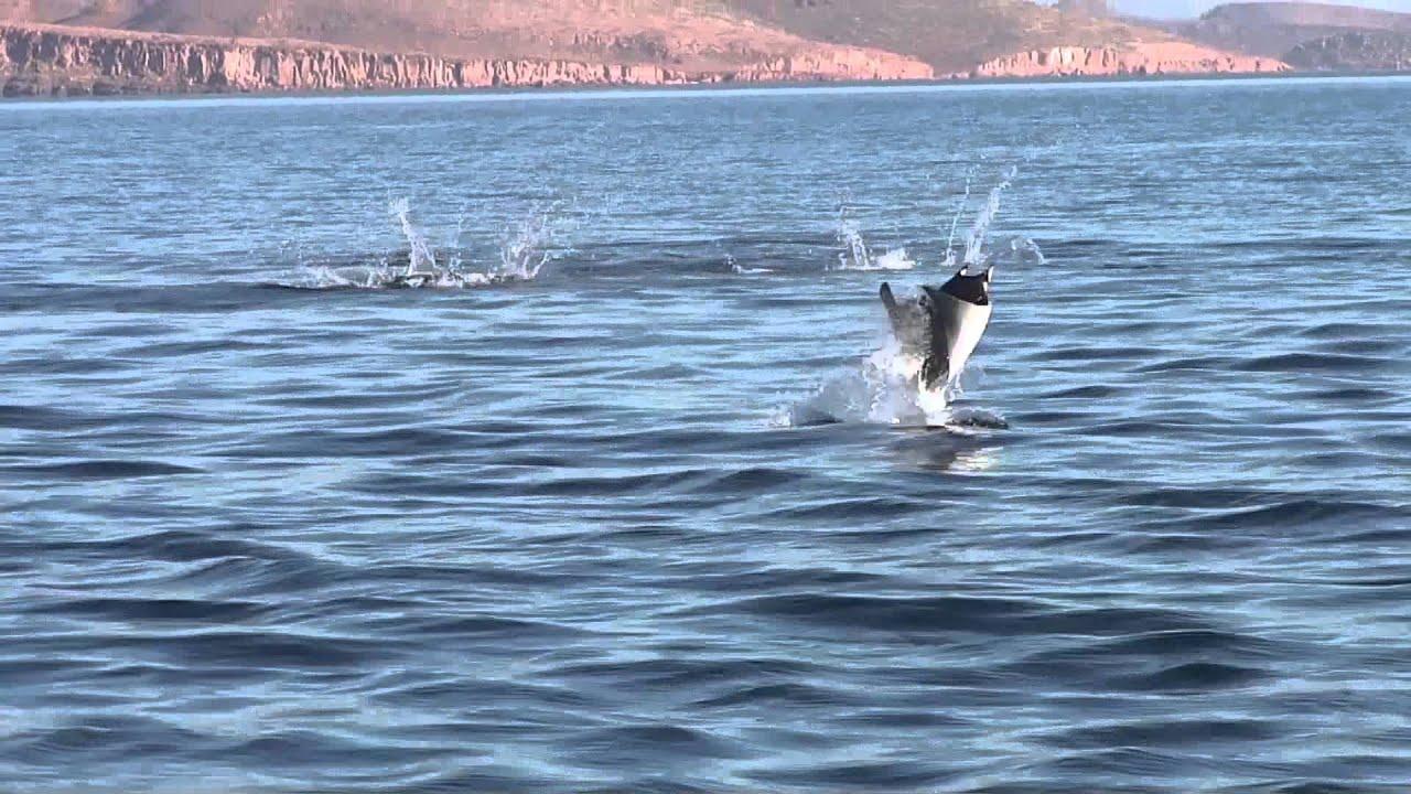 Manta Ray Jumping Jumping Manta Rays of Isla