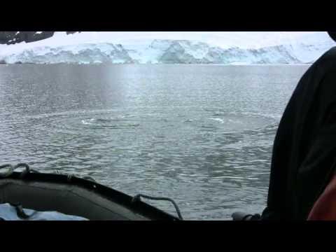 Curious Minke Whale Up Close in Antarctica