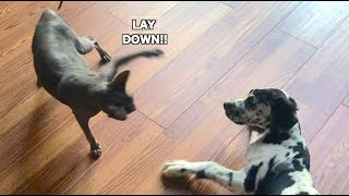 GREAT DANE PUPPY MEETS HAIRLESS CAT (HILARIOUS)