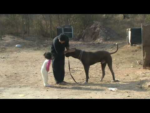 bully kutta fighting videos