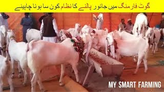 18 | What Should be Feeding System | گوٹ فارمنگ میں جانور پالنے کا نظام   | Goat Farming