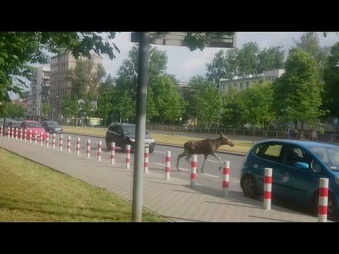 Łoś Na Ul. Kasprowicza W Warszawie.