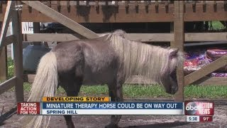 Miniature horse, an 11-year old boy