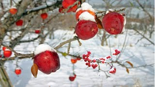 World's Most Expensive Honey Apple - Amazing Japan Sun Apple Agriculture Technology Farm