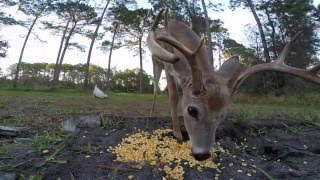 White-tailed deer in Florida