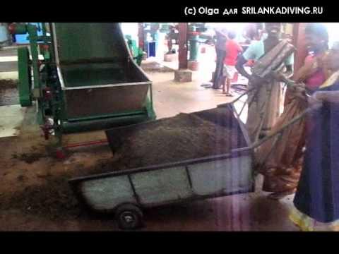 производство чая на Шри-ланке