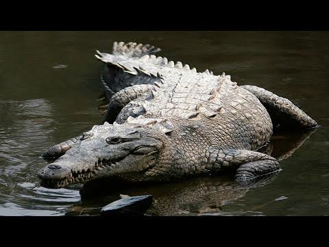 Significado de soñar con cocodrilos y caimanes