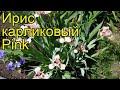 Ирис карликовый Пинк. Краткий обзор, описание характеристик, где купить саженцы iris pumila Pink