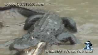 Python vs Alligator 15 -- Real Fight -- Python attacks Alligator
