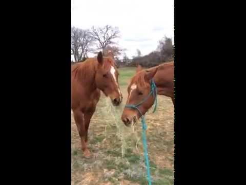 馬のカップルが仲良く干し草を分け合って食べる姿を激写!